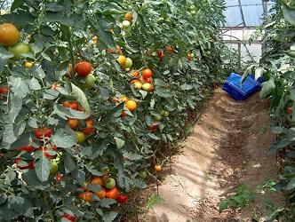 Domates ve meyve zararlılarına karşı yeni yöntem