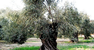 GEKA'dan organik zeytinciliğe destek