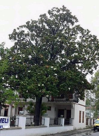 Türkiye'nin en büyük Manolya ağacı