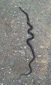 2 metrelik yılan öldürüldü