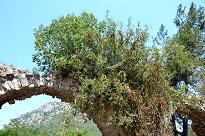 Ağaç tarihi kemere tutundu