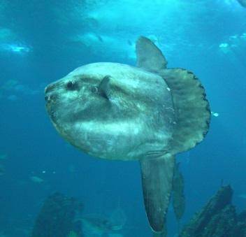 Ay balığı görenleri şaşırttı
