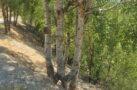 Kökleri ayrı gövdesi bir ağaç görenleri şaşırtıyor