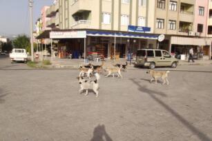 Sokak köpekleri tehlike saçıyor