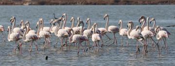 Muğla'nın erkenci flamingoları