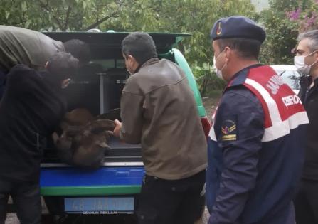 Yaralı yaban keçisi kurtarıldı