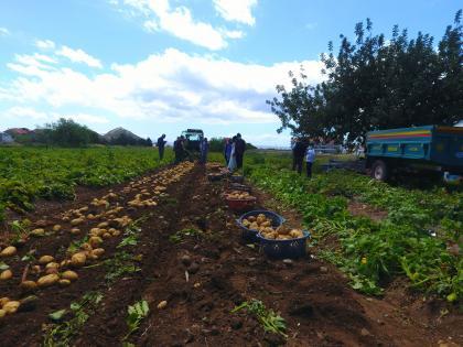 hasadı başlayan turfanda patates üreticisini mutlu etti